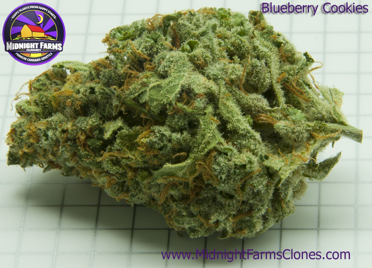 Blueberry Cookies – Midnight Farms Clones