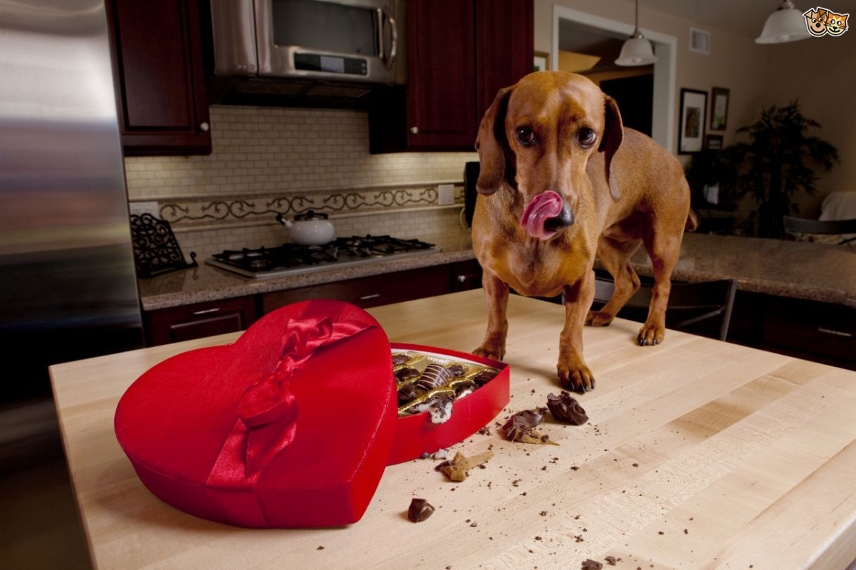 Chocolate Poisoning In Dogs