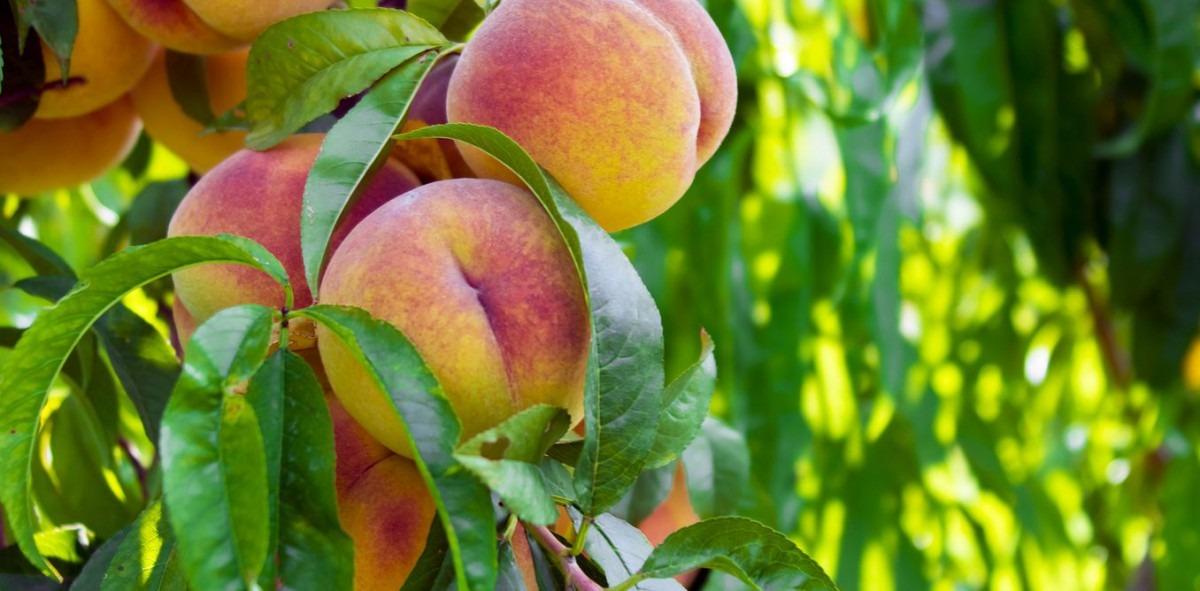 The Fuzzy History Of The Georgia Peach